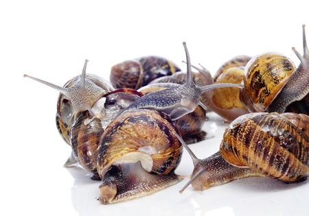 mucus: a pile of land snails on a white background