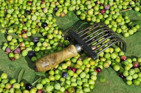 arboleda: aceitunas en un nido con una herramienta como un peine a cosechar en un olivar, España Foto de archivo