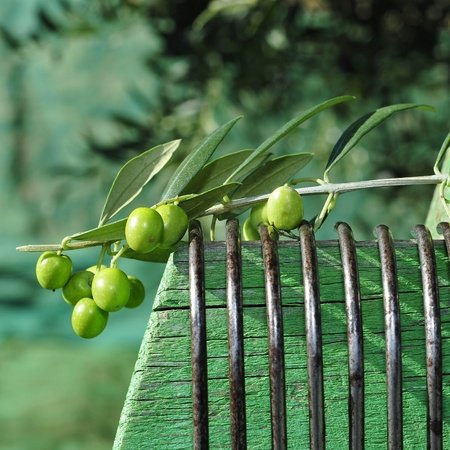 olive farm: a branch of olives and a tool like a comb to harvest in an olive grove in Catalonia, Spain