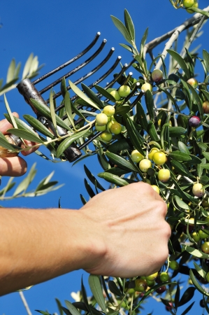 crop harvesting: someone harvesting olives in an olive grove in Spain Stock Photo