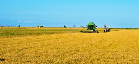 a combine harvester harvesting a paddy field in Ebre Delta, Catalonia, Spain photo
