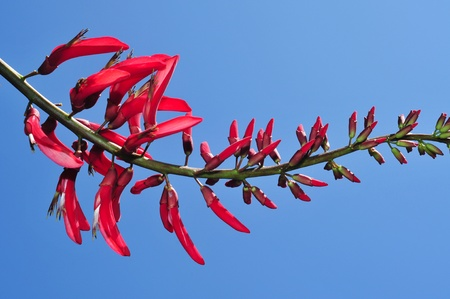 erythrina: closeup of an erythrina x bidwillii with its red flowers Stock Photo