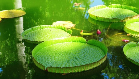 closeup of a victoria amazonica plant on a pond photo