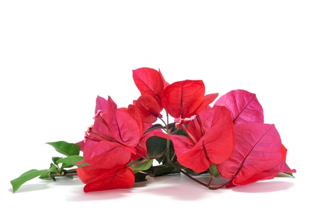 some bougainvillea flowers on a white background photo