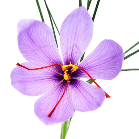 flores exoticas: una flor de azafr�n sobre un fondo blanco Foto de archivo