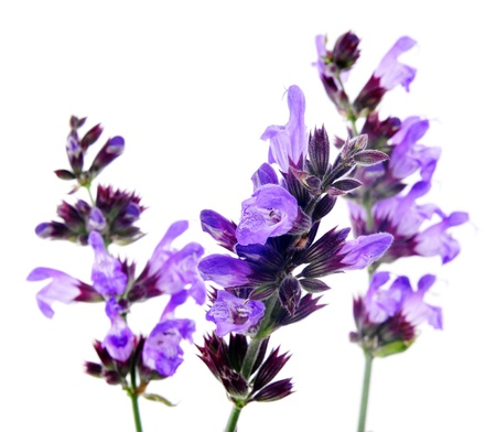 salvia flowers on a white background photo