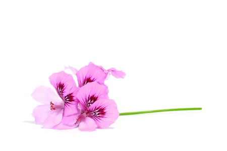 closeup of violet flowers on a white background photo