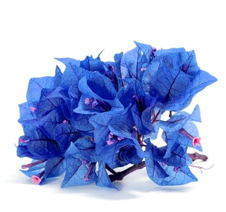 bougainvillea: a bunch of blue bougainvillea on a white background
