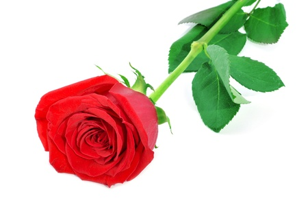 sant: closeup of a red rose on a white background