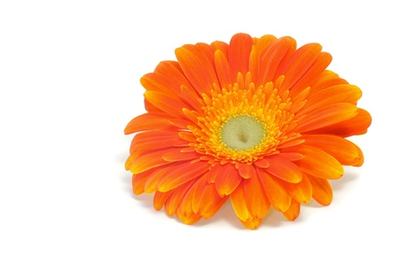 Gerbera: an orange gerbera daisy on a white background