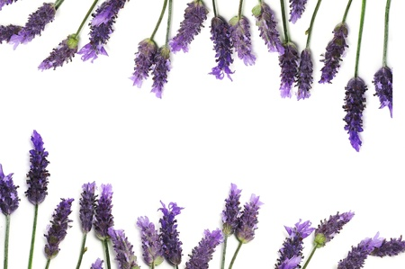 lavanda: flores de lavanda en un fondo blanco como un marco de