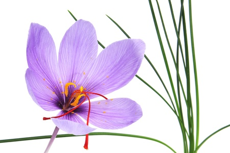 a saffron flower on a white background photo