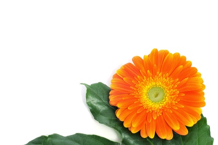 an orange gerbera daisy on a white background Stock Photo - 12211026