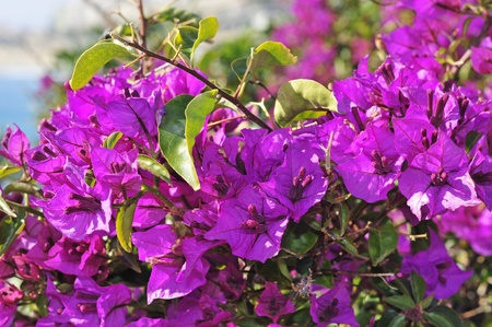 bougainvillea: closeup of a bougainvillea bush