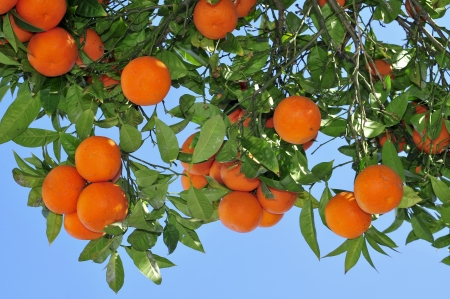 primo piano di un arancio ricco di frutti Archivio Fotografico