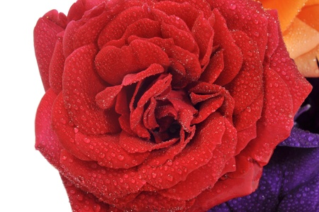closeup of a red rose covered in dew drops photo