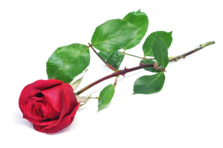 thorns and roses: a red rose on a white background