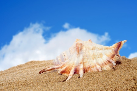 cockle: closeup of a conch on the sand of a beach Stock Photo