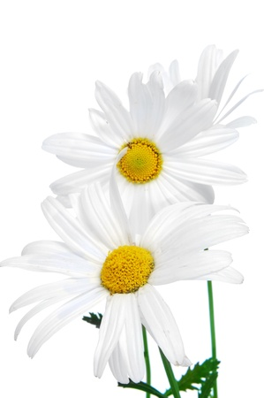 he and she: close up of a few oxeye daisies on a white background