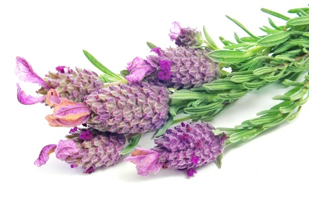 some flowers of Lavandula stoechas, Spanish lavender, on a white background