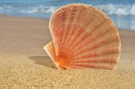 scallop: seashell on the seashore Stock Photo