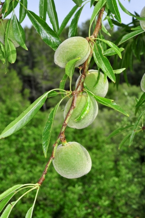 almond tree: closeup of a branch of almond tree with fruits
