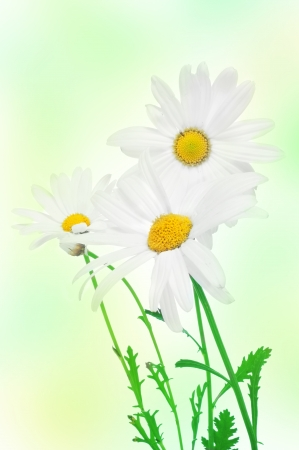 closeup of some oxeye daisies Stock Photo - 14033910