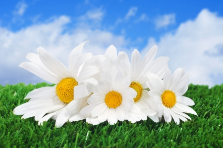 margarite: close up of a few oxeye daisies on the grass