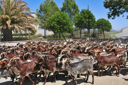 billy: a herd of goats in Spain Stock Photo