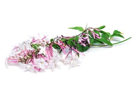 jasmine flower: jasmine flowers on a white background