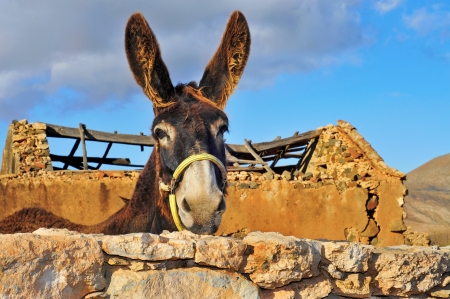 closeup of a donkey on an old farm