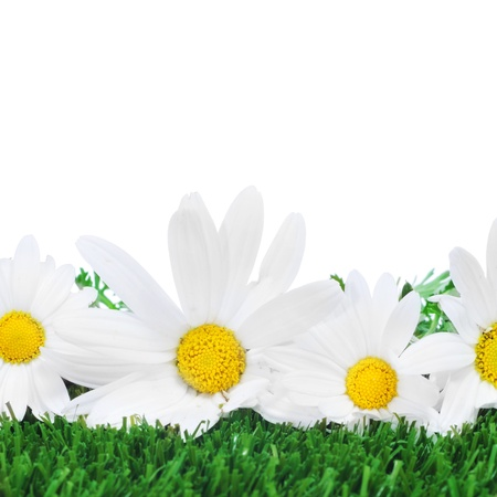close up of a few oxeye daisies on the grass on a white background Stock Photo - 14739016