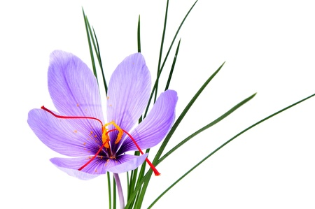 saffron: closeup of a delicate saffron flower on a white background