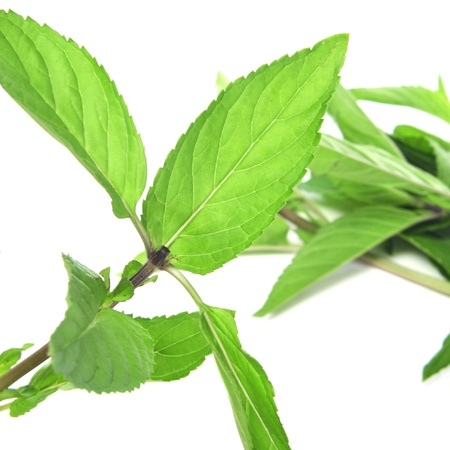 closeup of a branch of mint on a white background Stock Photo - 14809313