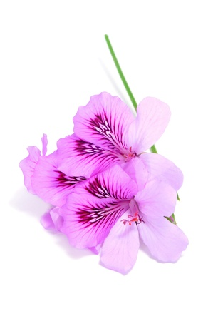 rest in peace: some violet flowers on a white background