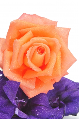 closeup of a fresh orange rose and purple flowers on a white background photo