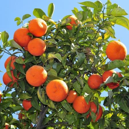 arboleda: Primer plano de un naranjo lleno de frutas Foto de archivo