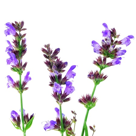 sage: closeup of some purple salvia flowers on a white background