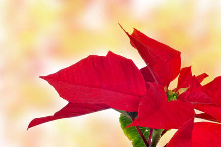 x mas: closeup of a red poinsettia on a colorful and blurred background
