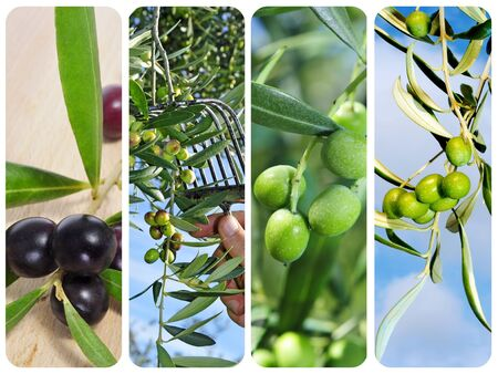olive farm: a collage of different pictures of olive harvesting