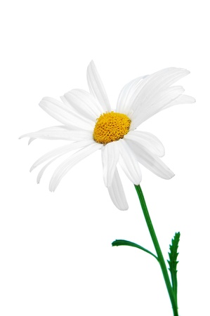 loves: close up of a oxeye daisy on a white background