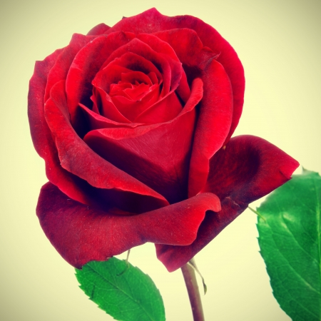 closeup of a beautiful red rose, with a retro effect photo