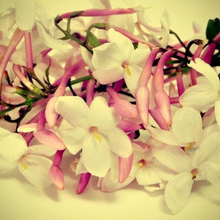 closeup of jasmine flowers, with a retro effect
