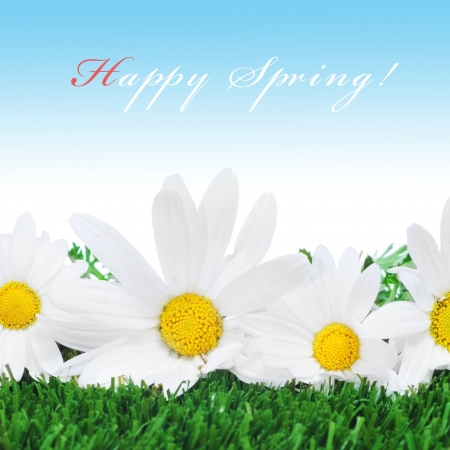 oxeye: some oxeye daisies on the grass and the sentence happy spring