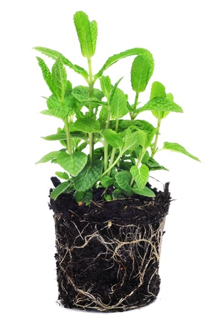 vertical garden: mint plant on a white background