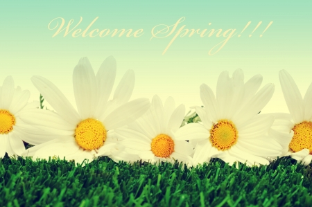 some white oxeye daisies on the grass and the sentence welcome spring