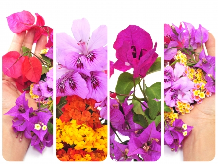 a collage or some different flowers, as verbenas, bougainvillea and violets photo