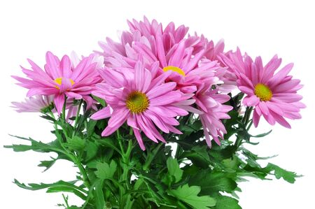 mums: closeup of some pink chrysanthemums on a white background
