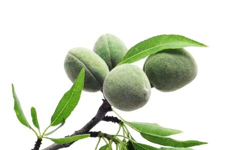 ein Zweig der Mandelbaum mit einigen gr?nen Mandeln auf einem wei?en Hintergrund Standard-Bild
