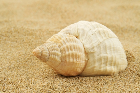 conch: closeup of a spired conch shell on the sand, on a white background with a blank space to write your text